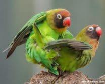 Black Cheeked Lovebird