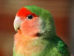 معرفی طوطی کوتوله برزیلی صورت هلویی