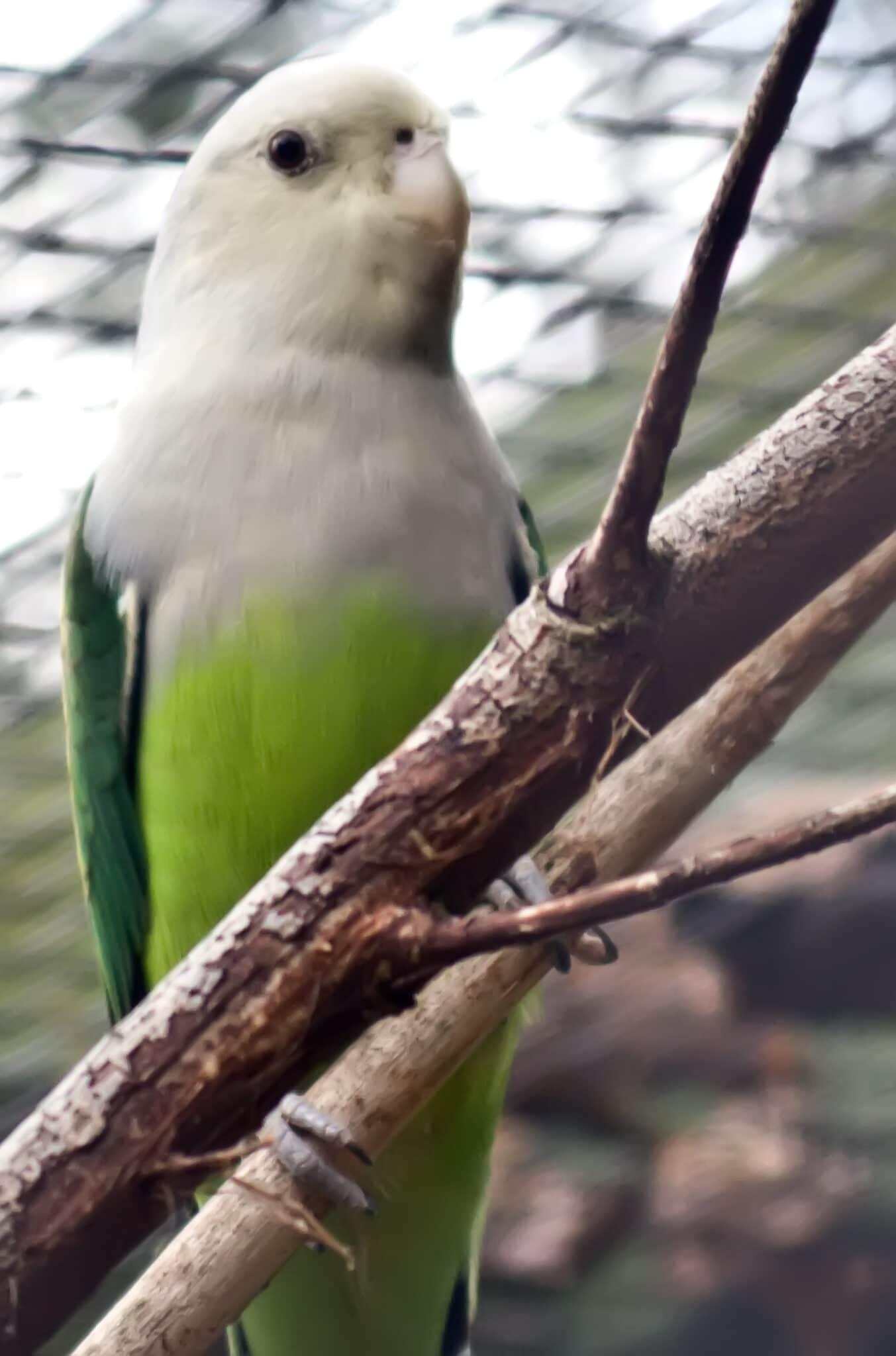 طوطی کوتوله ماداگاسکار