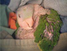 نکات بهداشتی در نگهداری طوطی کوتوله