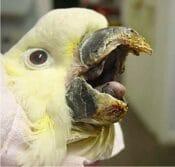 بررسی علائم بیماری در طوطی کوتوله